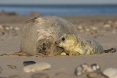 Robbenmutter mit Baby