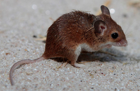 Die kleinsten Mäuse der Welt
