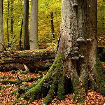 Faszinierende Buchen Urwälder in Deutschland