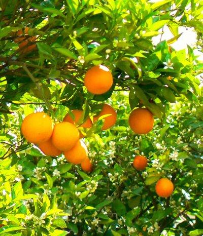 Zitrusfrüchte sind echte Vitaminbomben