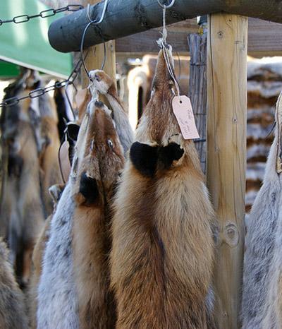 Die sinnlose Jagd nach dem Fuchspelz