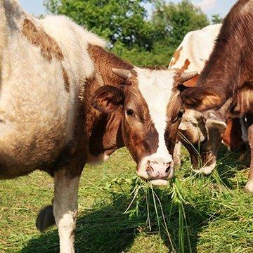 Faires Fleisch von glücklichen Kühen