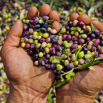 Nur die besten Oliven werden verarbeitet
