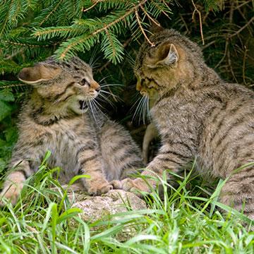 Wie erkenne ich Wildkatzen?
