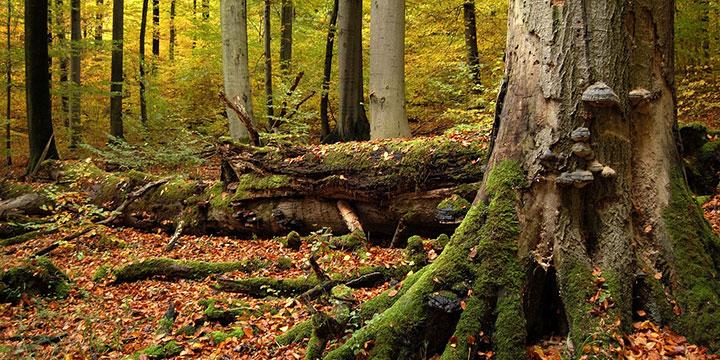 Alte Buchenwälder erzählen ihre Geschichten