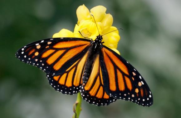 Wie lange gibt es noch Schmetterlinge?