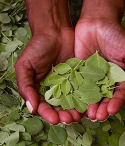 Der Wunderbaum heilt 300 Krankheiten