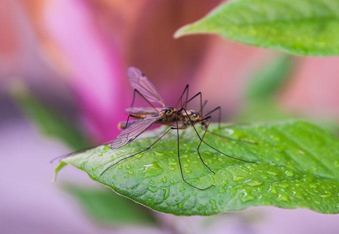 Stechmücke sitzt auf einem Blatt