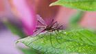 Ohne Chemie - Mit Hausmitteln gegen Stechmücken