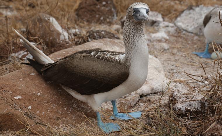 Die Doku zeigt, was es mit den blauen Füßen der Blaufußtölpel auf sich hat
