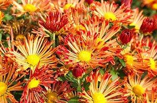 Diese fünf Pflanzen blühen im Herbst