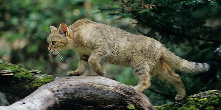 Nicht verwechseln: Wildkatzen und Stubentiger