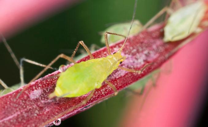 Blattläuse sind eine Gefahr für alle Pflanzen © Henrik_L/ iStock/ Thinkstock