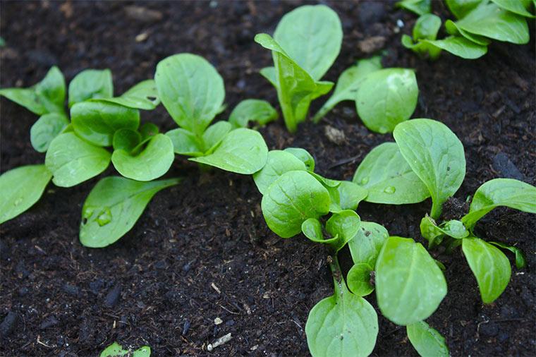 Feldsalat als Nachkultur