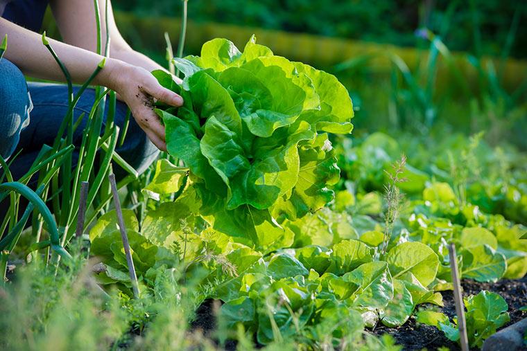 Frischer Salat aus dem Garten