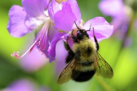 Forschung: Blumen die Bienen anlocken nutzen elektrische Ladung