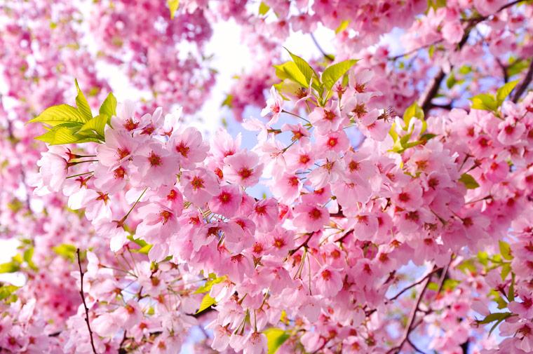 Japanische Blüten-Kirsche