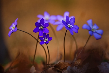 Bedrohtes Leberblümchen Blume des Jahres 2013