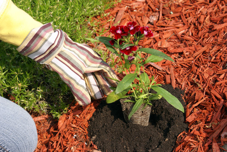 Mulch verhindert bei Trockenheit, dass Wasser zu stark verdunstet