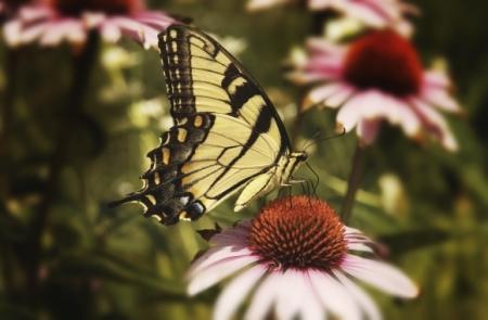 Mit Wildnis im Naturgarten Schmetterlinge anlocken