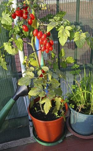 Tomaten pflanzen Balkonbepflanzung