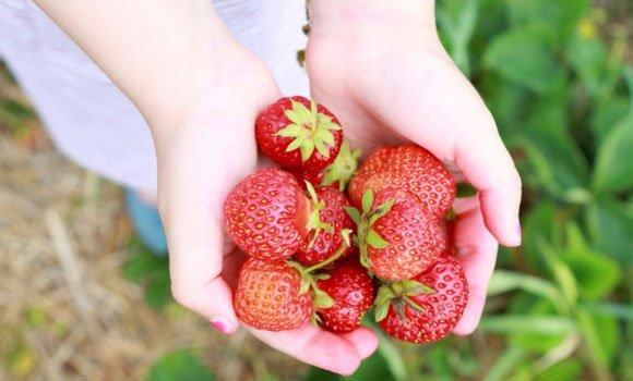 Alle lieben Erdbeeren, das süße und gesunde Früchtchen