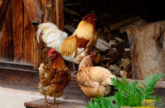 Hühner selber halten mit dem richtigen Hühnerstall