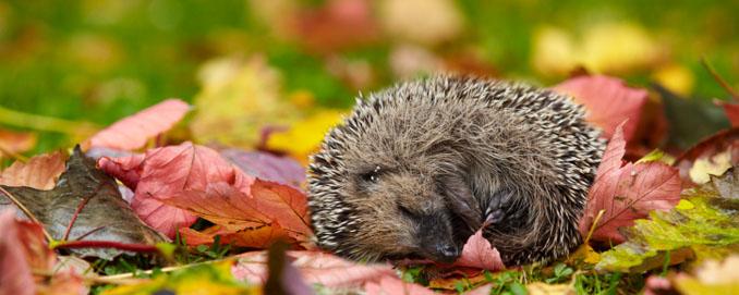 Zum Herbst muss der Garten auf den Winter vorbereitet werden, damit auch die possierlichen Igel eine warme Bleibe haben ©iStock