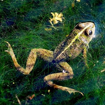 Ein richtiger Gartenteich ist natürlich auch von Tieren bewohnt © Frogger von Alexander Boden (CC BY-SA 2.0)