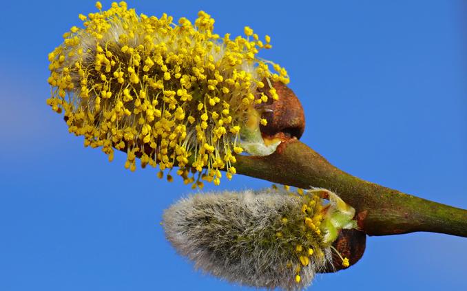 Heuschnupfenmittel natürlich: Das hilft gegen Allergien