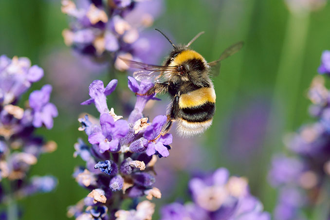 Biene sitzt auf lila Blüte