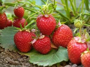 Leckere Erdbeeren - volle Vitamin C Kraft. © Alexander Kuzovlev