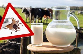 Beunruhigend: Auch Rohmilch kann das Zecken-Virus übertragen