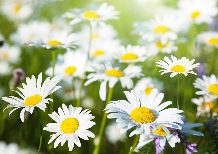 Heilpflanzen: Heimische Kräuter als Gesundheits-Helfer