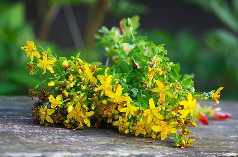 Johanniskraut ist ein beliebtes Heilmittel.