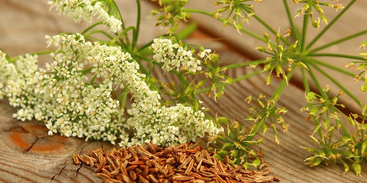 Echter Kümmel: Arzneipflanze des Jahres 2016