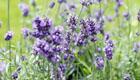 Sanfte Hilfe gegen Stress & Schlafprobleme mit Lavendel