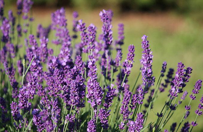 Lavendel Biotee