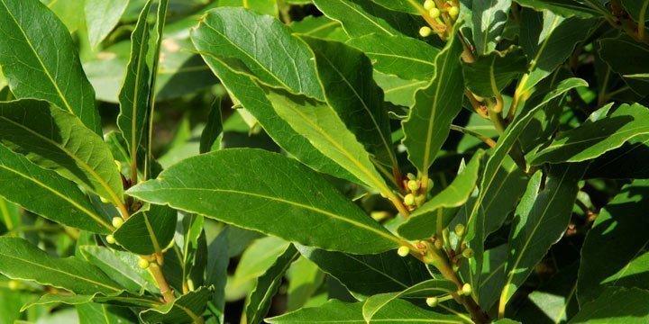 Die heilende Wirkung von Lorbeer als Heilpflanze