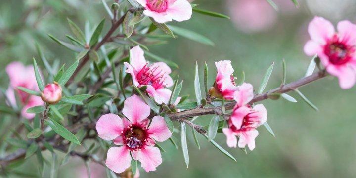 Manuka - Natürliches Antibiotika aus Neuseeland