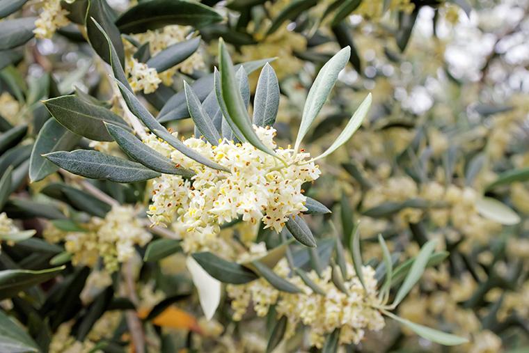 Blühende Olivenzweige als Basis der Gemmotherapie