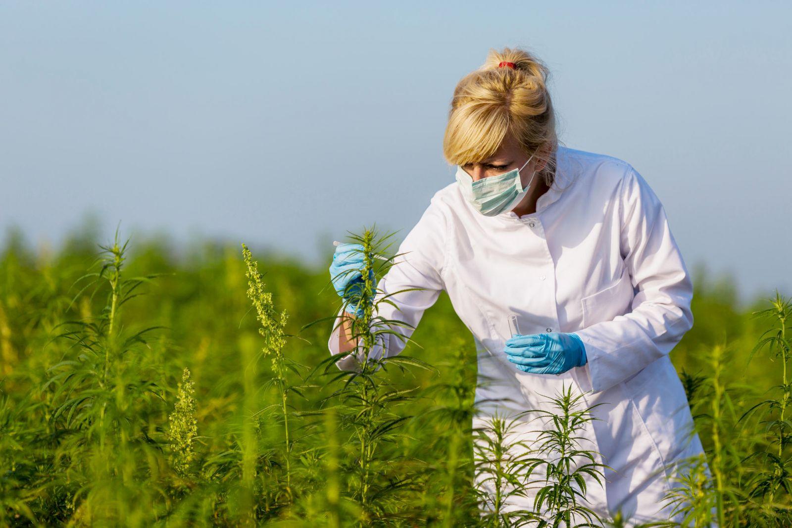 Wissenschaftlerin untersucht Hanfpflanzen
