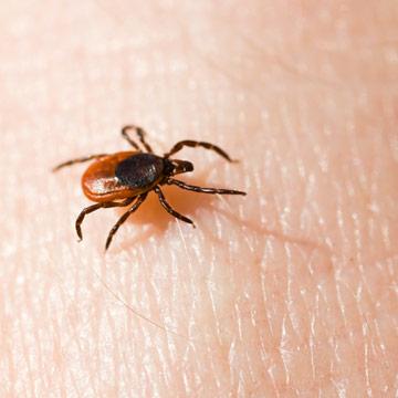 Zecken: Zahl der FSME-Infektionen steigt!