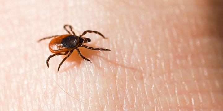 Die Zeckensaison beginnt -  Anstieg der FSME-Infektionen