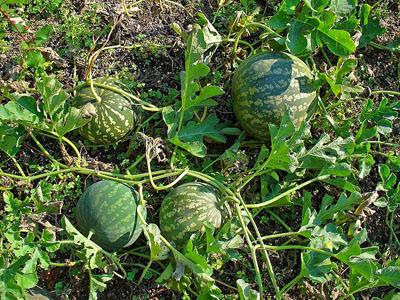 Koloquinte ist Heilpflanze des Jahres 2012