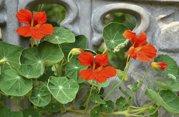 Kapuzinerkresse ist Arzneipflanze 2013!