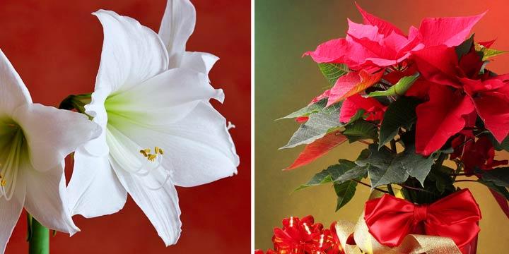 Amaryllis- und Weihnachtstern-Saison ist eröffnet