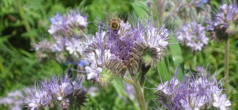 Bienen fühlen sich auf Blühwiesen sehr wohl.
