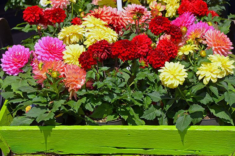 Farbenfrohe Balkonbepflanzung mit Dahlien und Co.