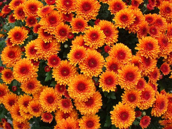 Klassische Chrysanthemen © Andreas Musolt_pixelio.de